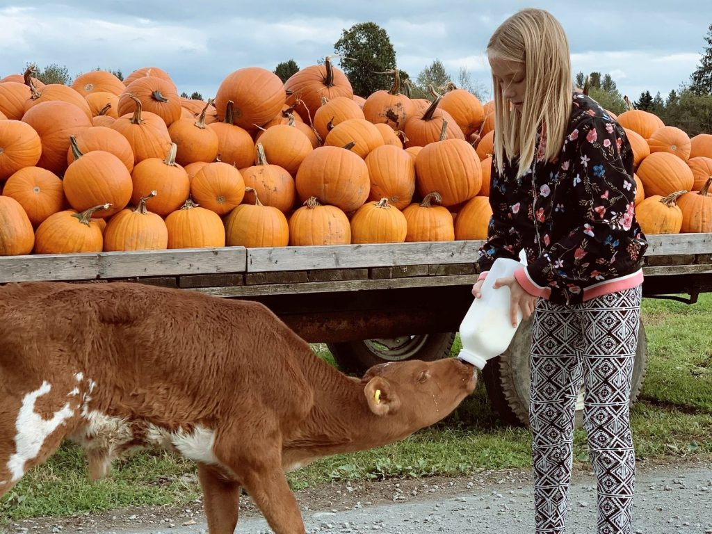 Girl bottle feeding calf at Laity Pumpkin Patch in Maple Ridge